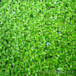Pleco zebra L46